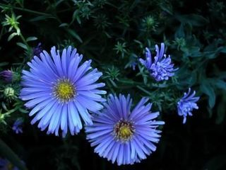 Article-new_ehow_images_a07_so_sr_plant-aster-garden-800x800